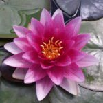 Attraction water lily