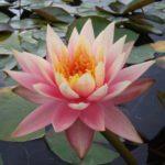 Barbara Dobbins water lily