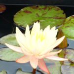 Texas Dawn waterlily