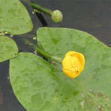 Brandy bottle (Nuphar Luteum) native