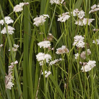 Tubular Water Dropwort