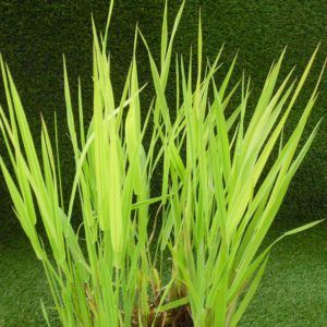 Reed canary grass 'Arctic Sun'