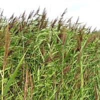 Norfolk Reed Phragmites Australis Native Marginal Plants Wetland