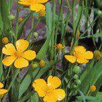 Ranunculus_linguagrandiflorabig