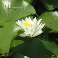 White Sultan white water lilyy (Nymphaea 'White Sultan')