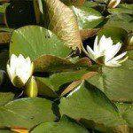 Alba water lily. (Nymphaea alba) (Native)
