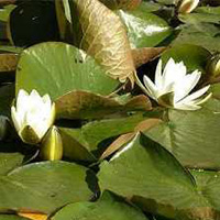 Alba water lily