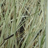 Variegated Pond Sedge