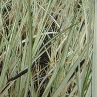 Variegated Pond Sedge. Carex Riparia 'Variegata' Marginal plants