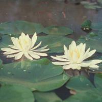 Caroliniana Nivea water lily (N. 'Caroliniana Nivea')