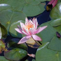 Rose Arey water lily (Nymphaea 'Rose Arey')