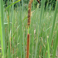 Lesser Reed Mace
