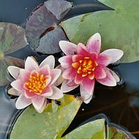 Aurora water lily (Nymphaea 'Aurora')