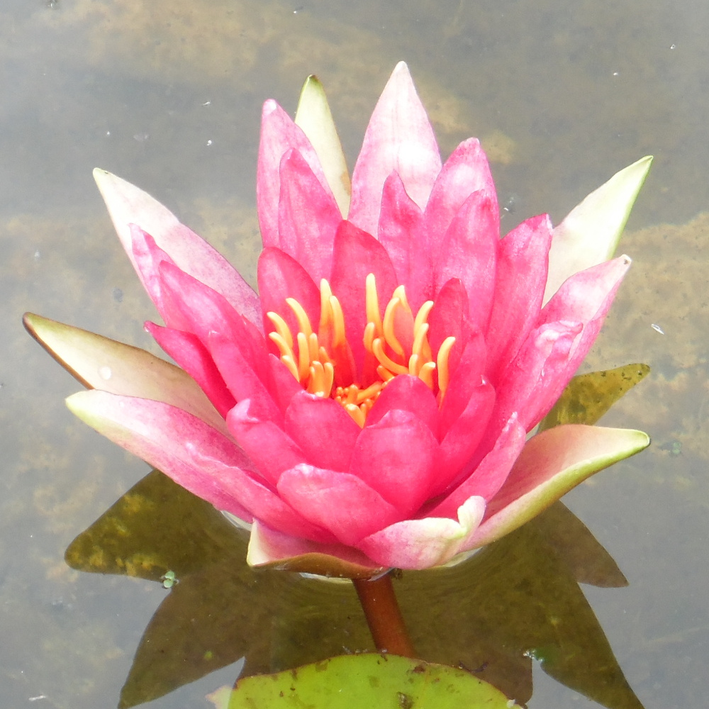Red spider waterlily