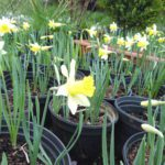 native daffodil