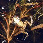 Frog-in pond
