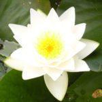 Gladstoniana Water Lily