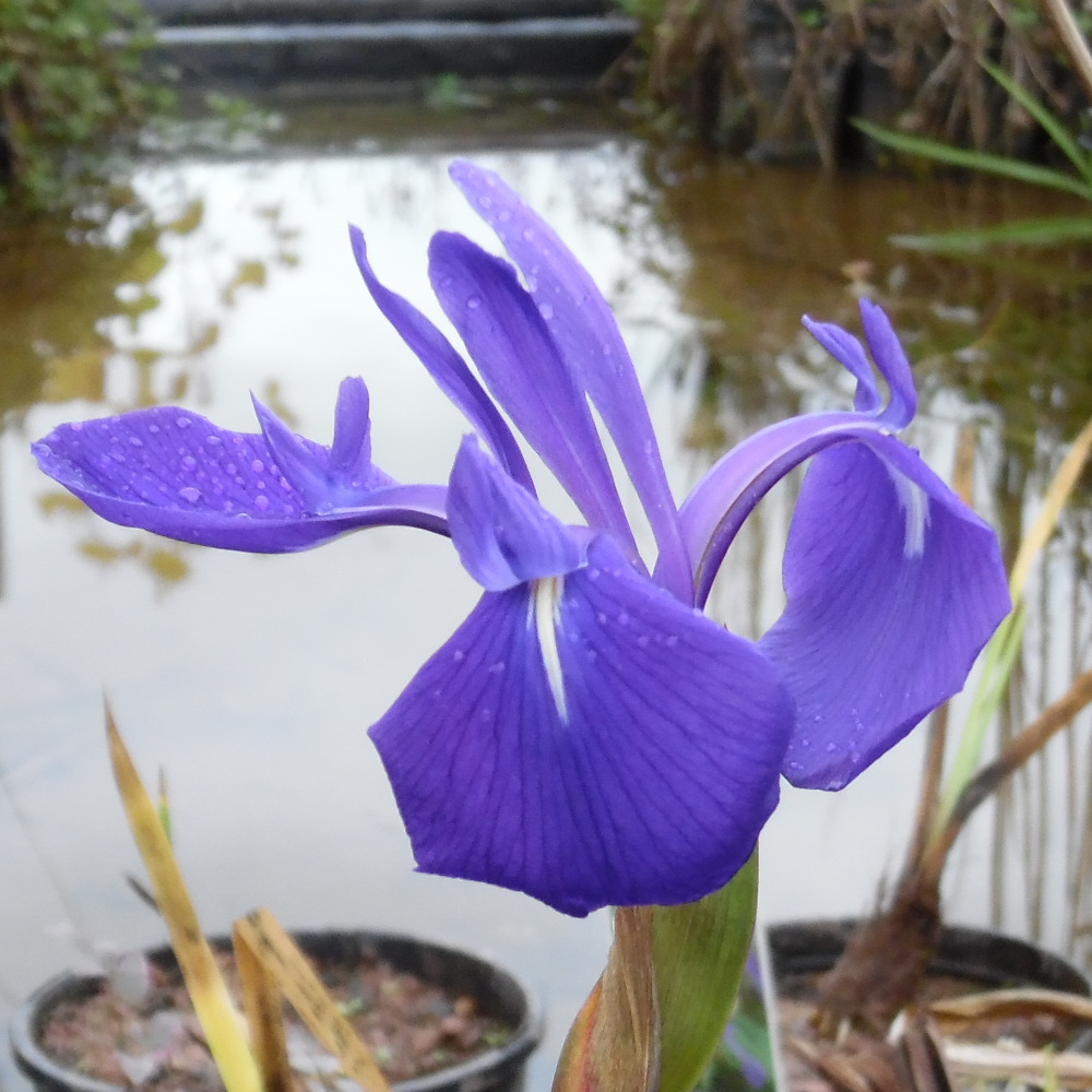 Japanese Water Iris blue