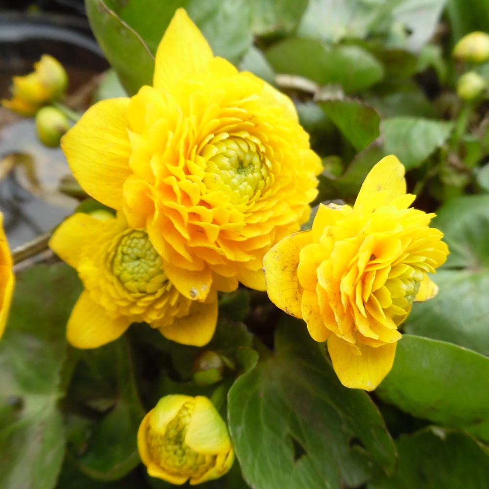 Extra Large Double Flowering Marsh Marigold (Caltha Palustris Flore Pleno)