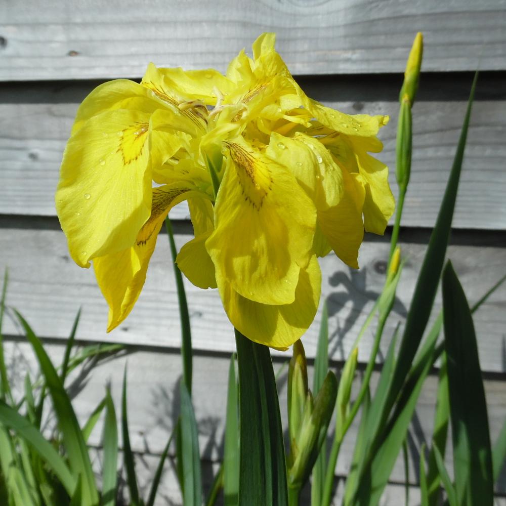 Double Yellow Flag Iris (Iris Pseudacorus flore plena) Marginal plants